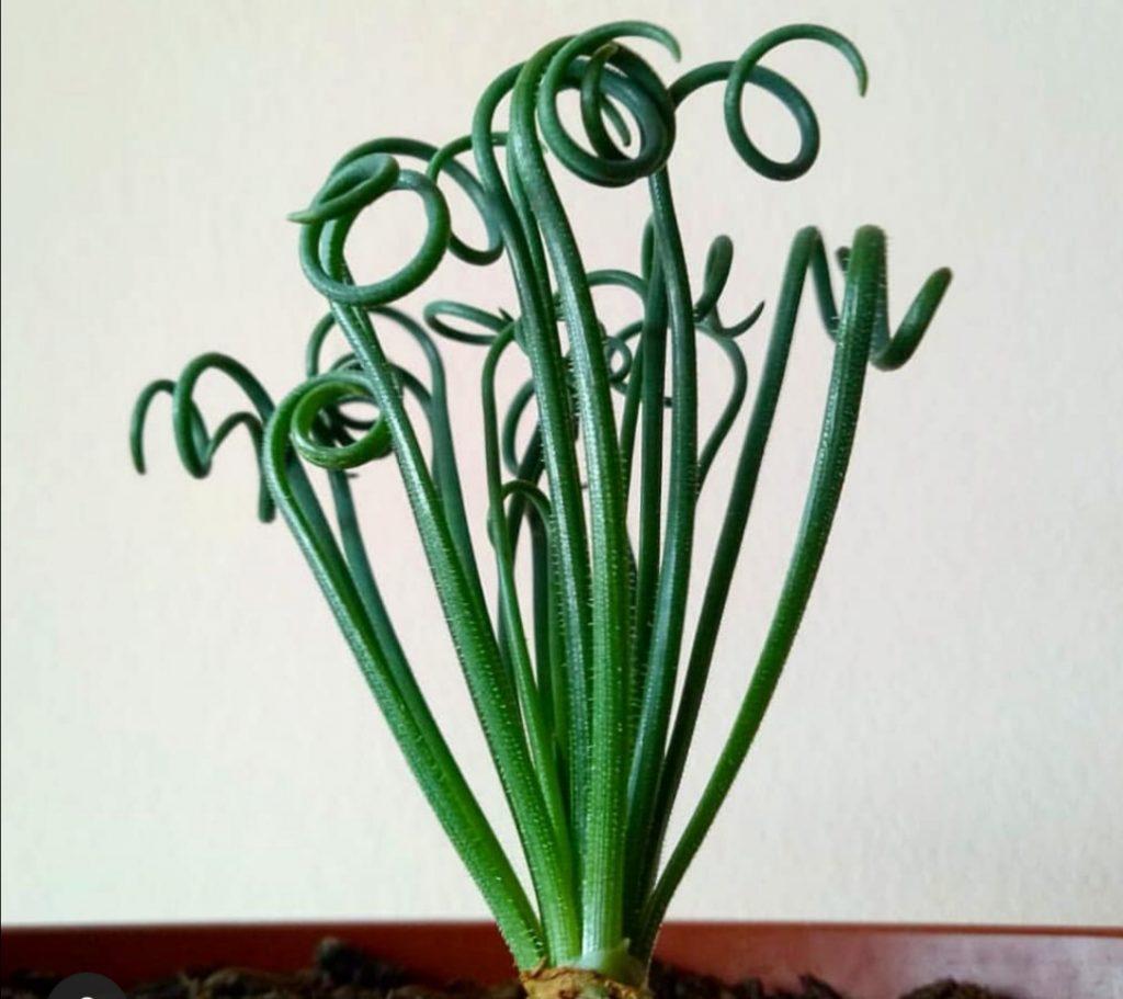 pagina albuca spiralis - principal - jardines - ficha aeonium