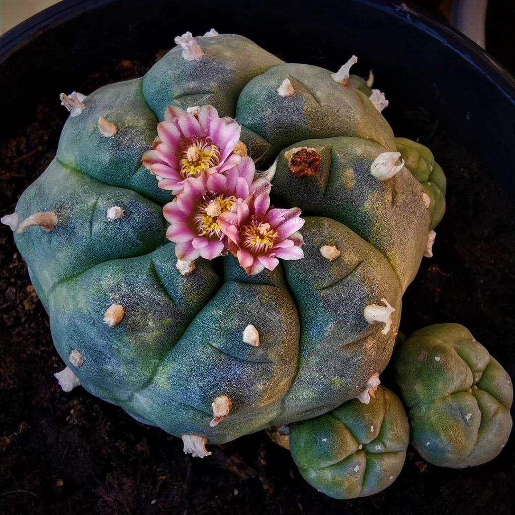 Lophophora Williamsii o Peyote. ¿Sabías que este hermoso cactus estaba considerado como un dios por la cultura mesoamericana? En la actualidad, sin embargo, está en peligro de extinción, ya que su hábitat está sometido al sobrepastoreo y esta planta crece tan despacio que no puede recuperarse.