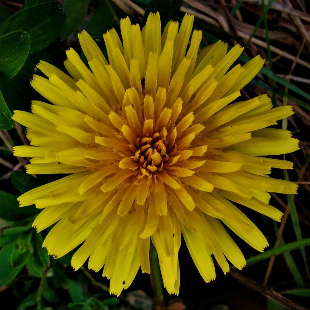 El diente de León o Taraxacum officinale Weber es conocida por los niños por lo divertido que es soplar y dispersar sus semillas. Pero esta planta es famosa desde el siglo XI por sus propiedades medicinales. Actualmente sigue siendo muy utilizada.