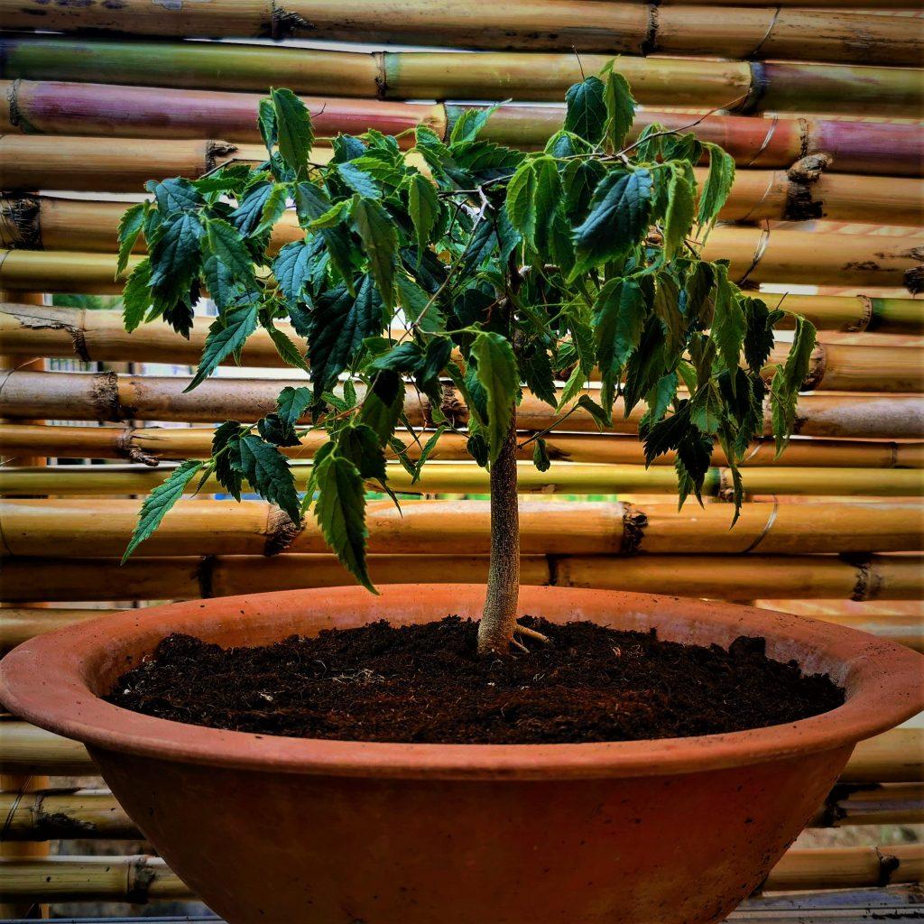 ¿Has visto alguna vez a la venta semillas de Bonsái? Las semillas de Bonsai no existen ya que un bonsái es un árbol cultivado con unas técnicas concretas para mantener un porte pequeño. Existen semillas de árboles más propicios para cultivarlos como bonsái, como este hermoso Celtis Australis que hemos criado desde semilla.