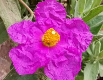Flor de Cistus Albidus o Jara blanca mas llamativa que sus vecinas Lavanda, Romero y Tomillo, pero igual de resistente,