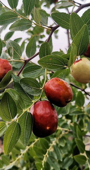 ¿Has probado los frutos del Azufaifo? Nuestro arbol de 3 años ya produce una gran cantidad de esta fruta deliciosa.