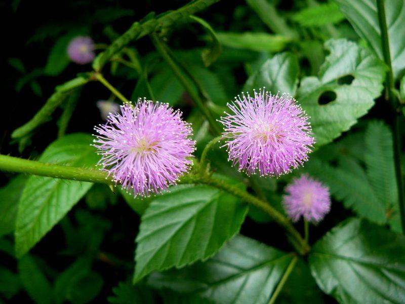 Flor de Mimosa Púdica - la planta que se mueve al tacto