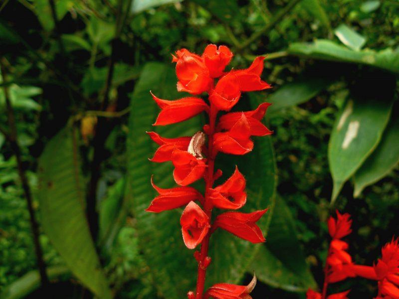 Flor de Salvia. Existen numerosas variedades con diferentes colores. La más conocida es, quizás, la Salvia Officinalis