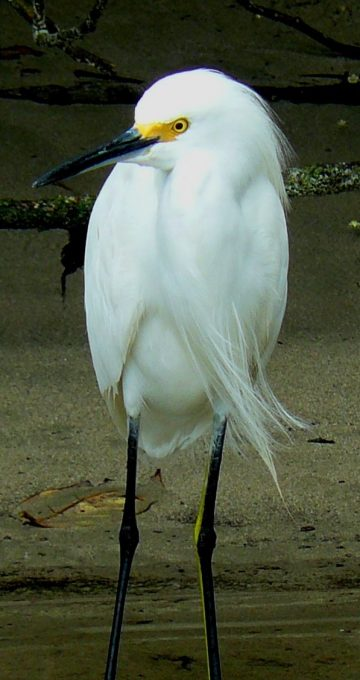 Egretta thula una de las aves que habitan esta isla