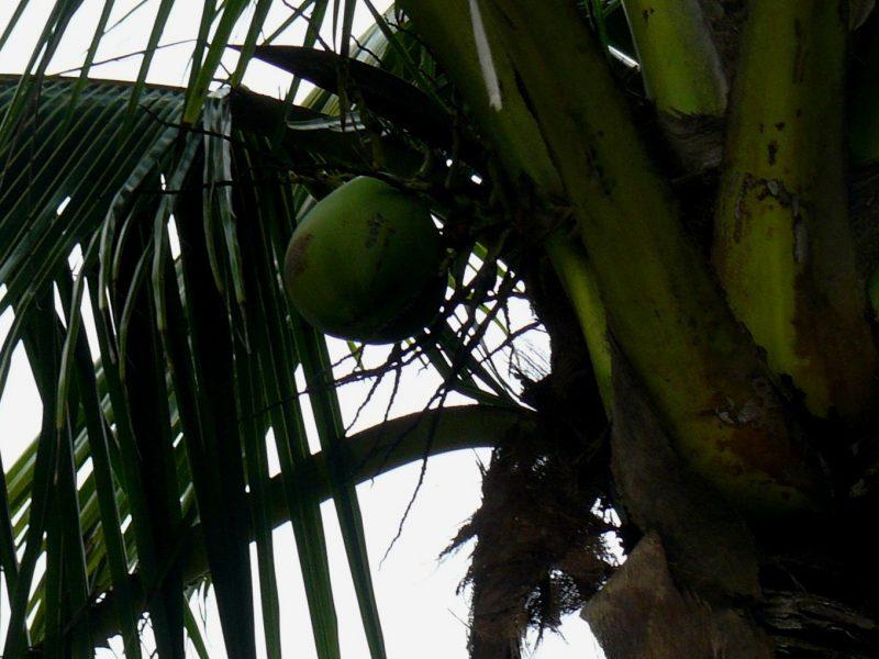 Palmera Cocotera o Cocos Nucífera