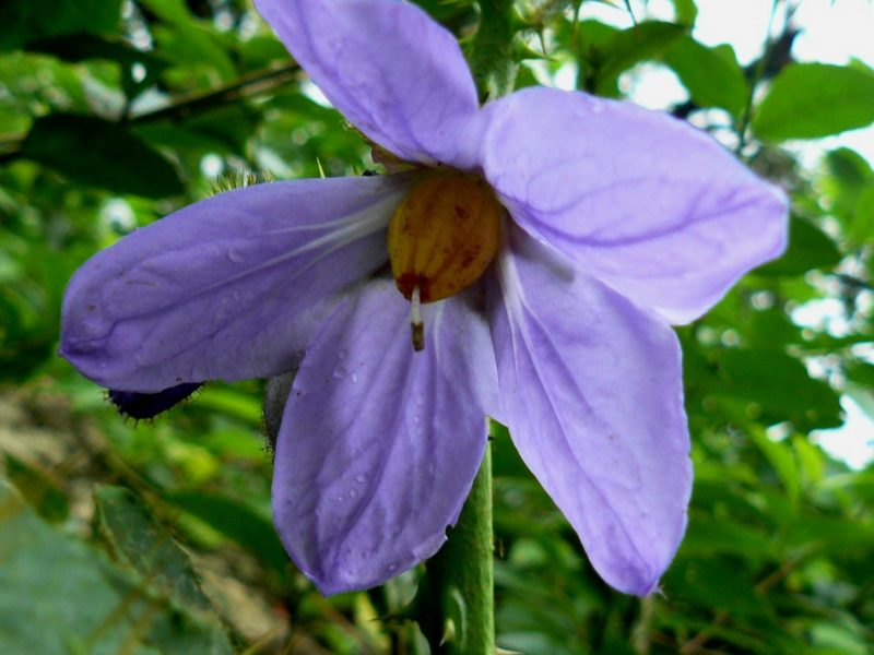 Flor de Solanum Quitoense - Tomatillo