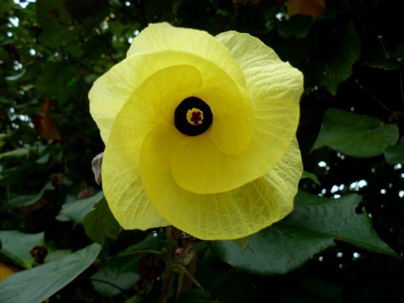 Flor de Hibiscus Tiliaceus una especie de árbol que vive en playas tropicales