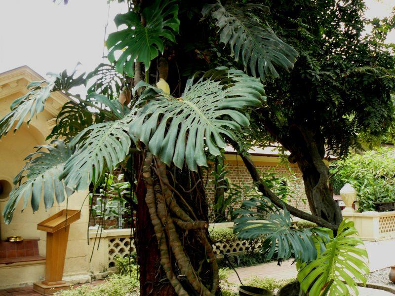 Philodendron trepador
