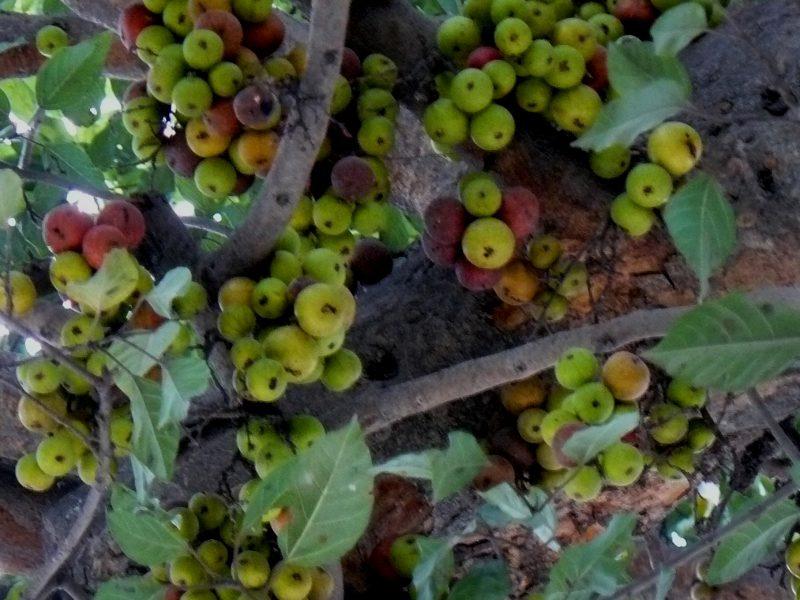 Ficus Sycomorus - la higuera mas antigua del mundo