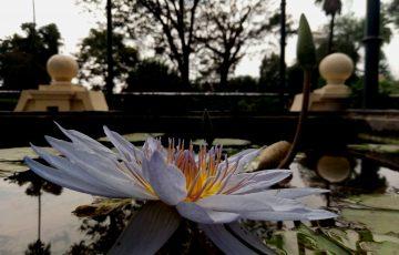 Un estanque plagado de nenúfares a cual mas bonito nos dan la bienvenida