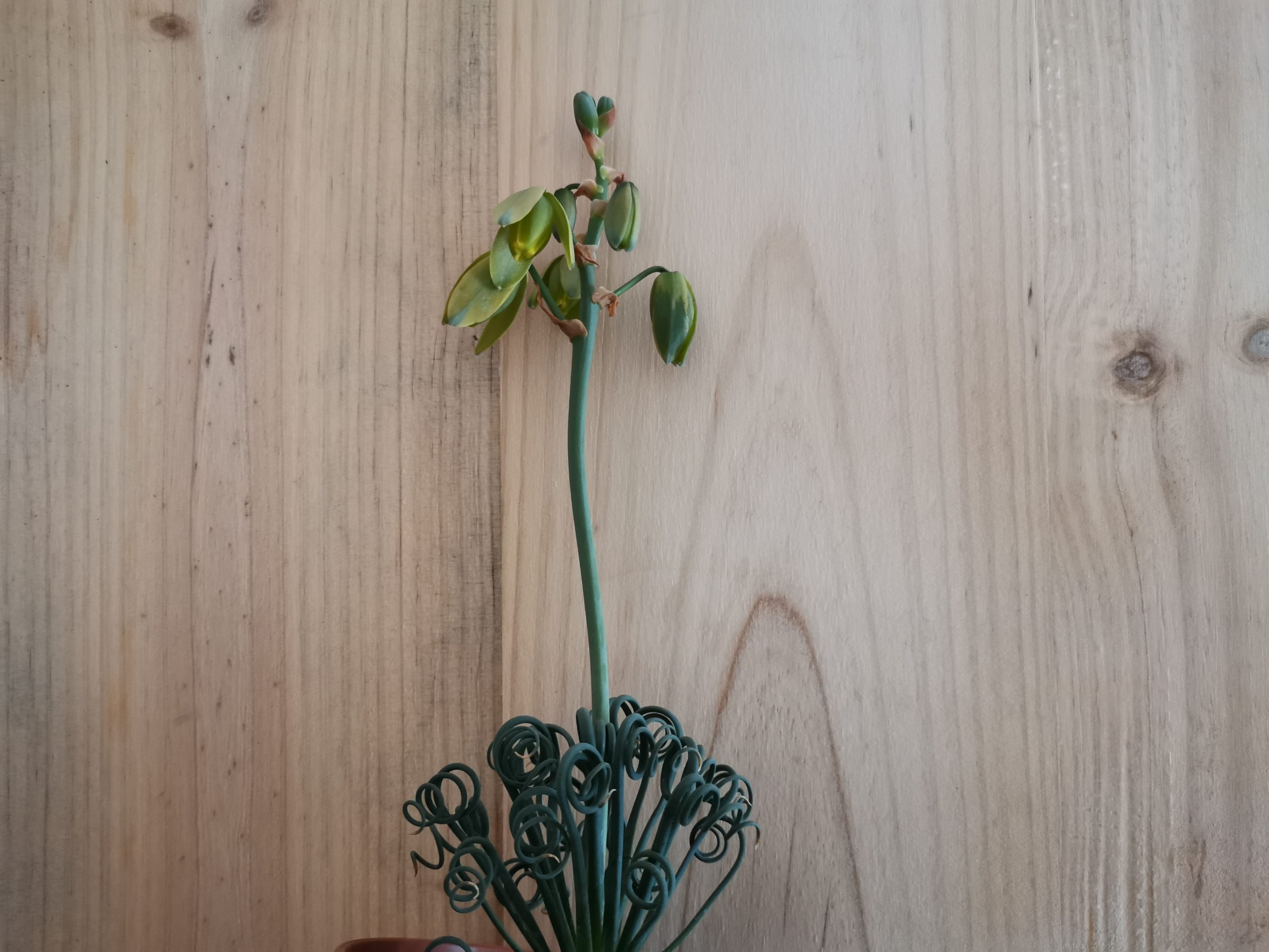 Fichas de plantas, albuca Spiralis
