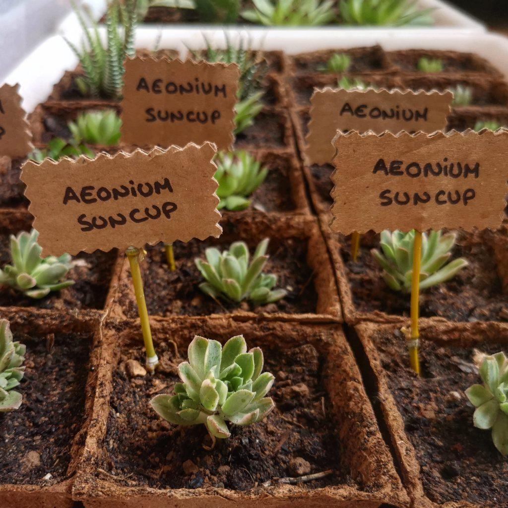 Plantas de Aeonium Suncup Variegata