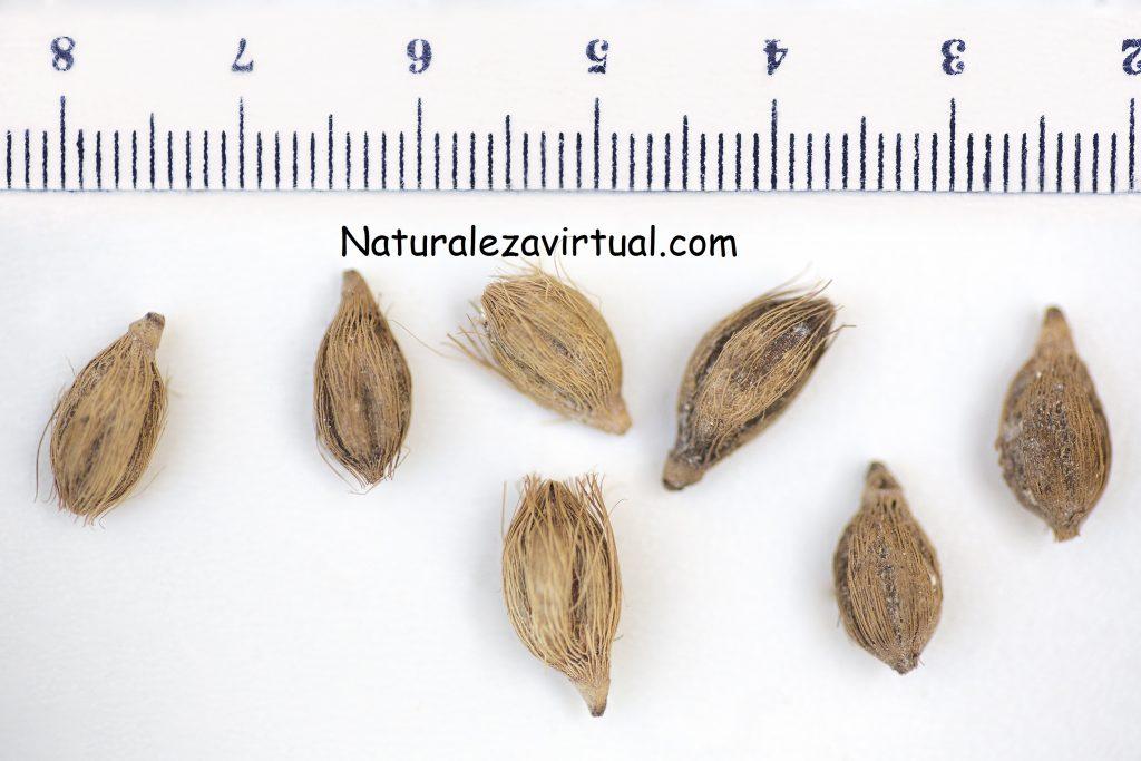 Germinar ptychosperma macarthurii