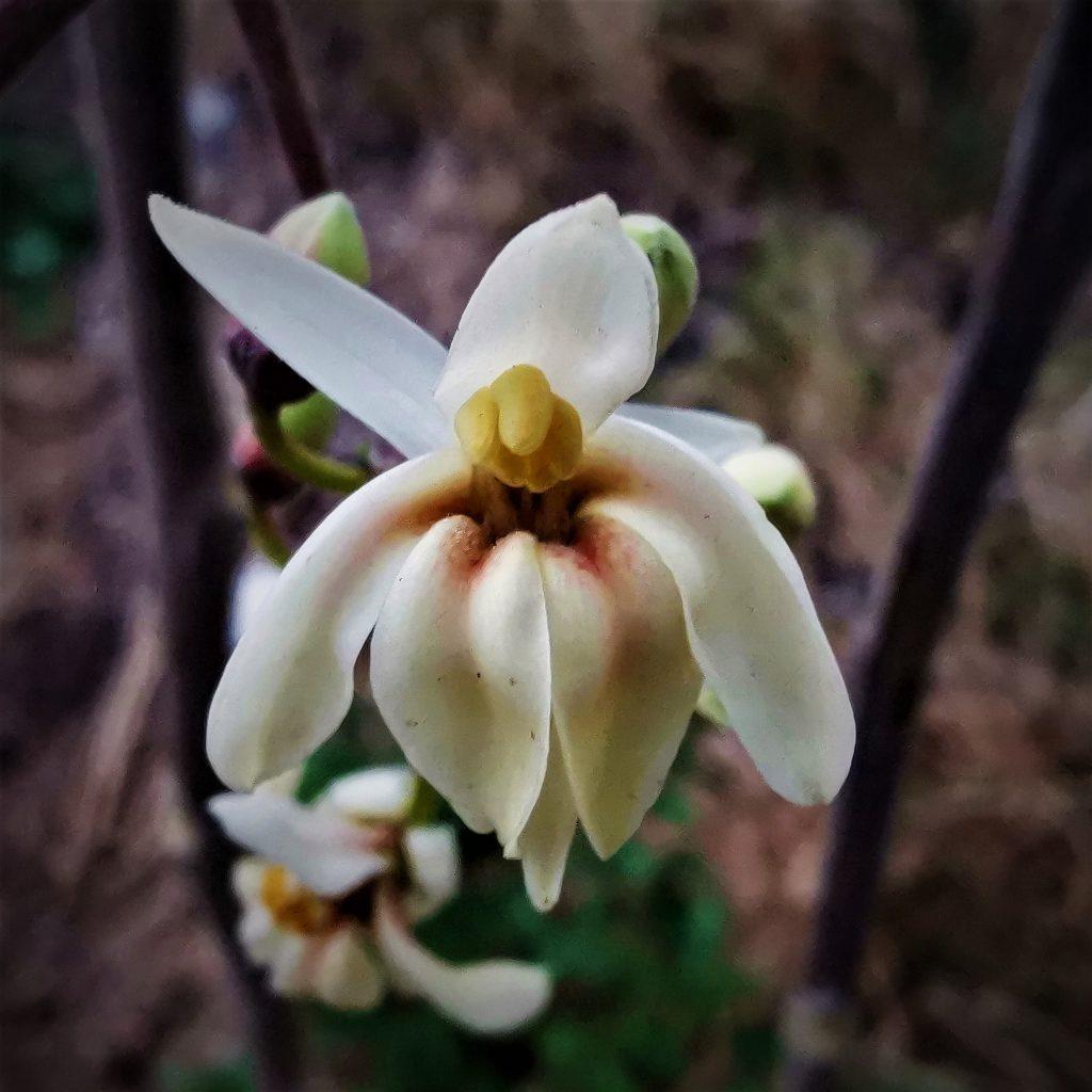 ¿Reconoces esta flor? Pertenece a la Moringa Oleífera, mejor conocida como el árbol milagro ya que todas las partes de la planta son comestibles y muy nutritivas.