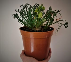 pagina albuca spiralis - descripcion