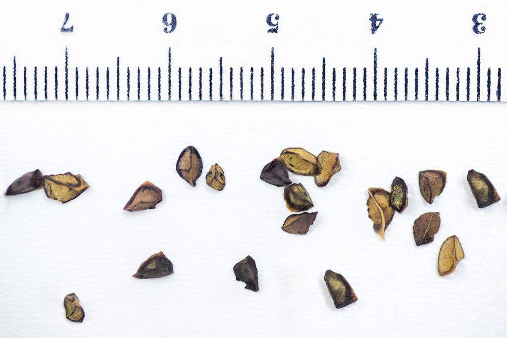 germinar kniphofia roperii