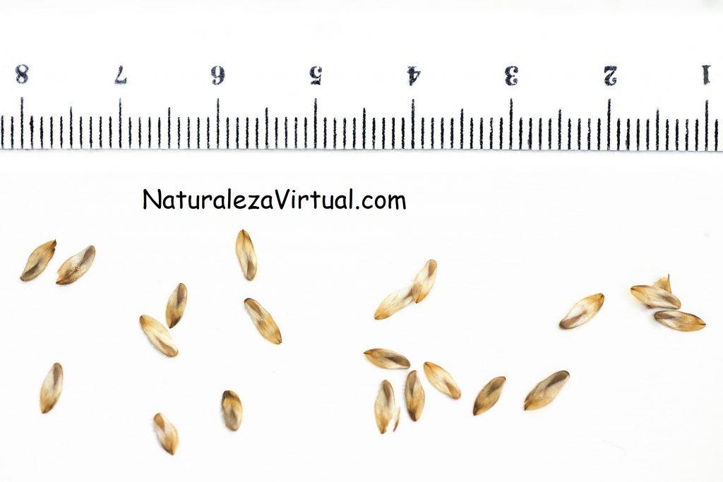 germinar casuarina equisetifolia
