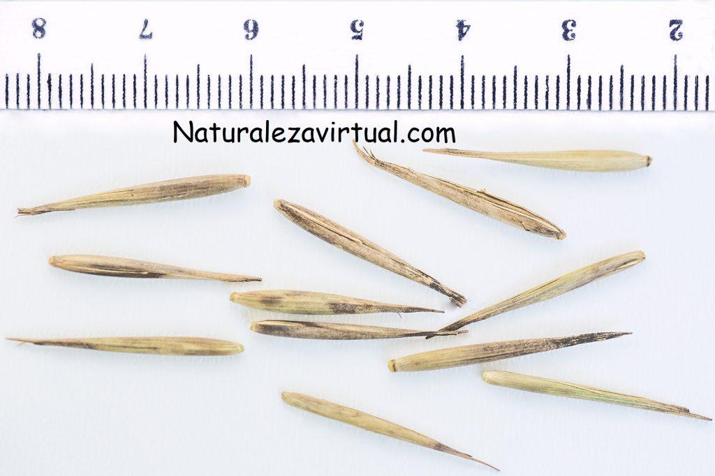 germinar phyllostachys pubescens