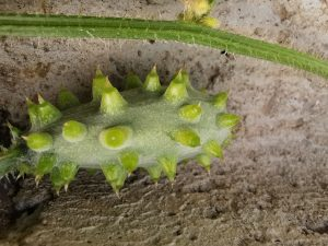 Kiwano - Cucumis Metuliferus