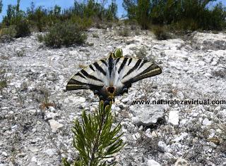 La mariposa chupaleches - Iphiclides Podalirius
