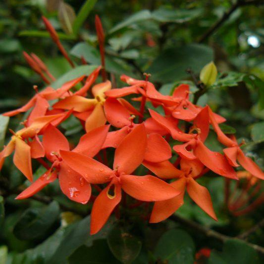Ixora Cocinea - Jardín botánico de Río de Janeiro - Home - NaturalezaVirtual