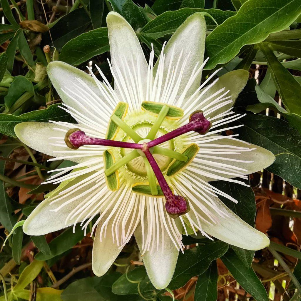 Passiflora Constant Elliot