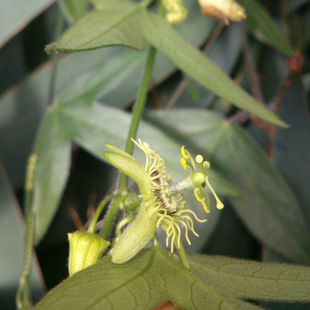 passiflora suberosa