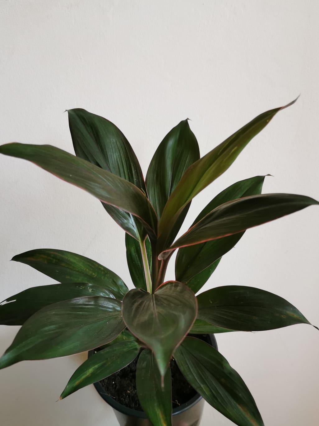 Cordyline Fruticosa Rumba