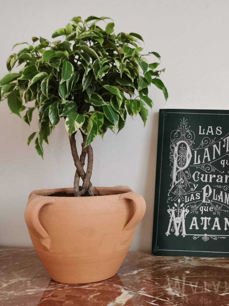 Ficus Benjamina Variegata