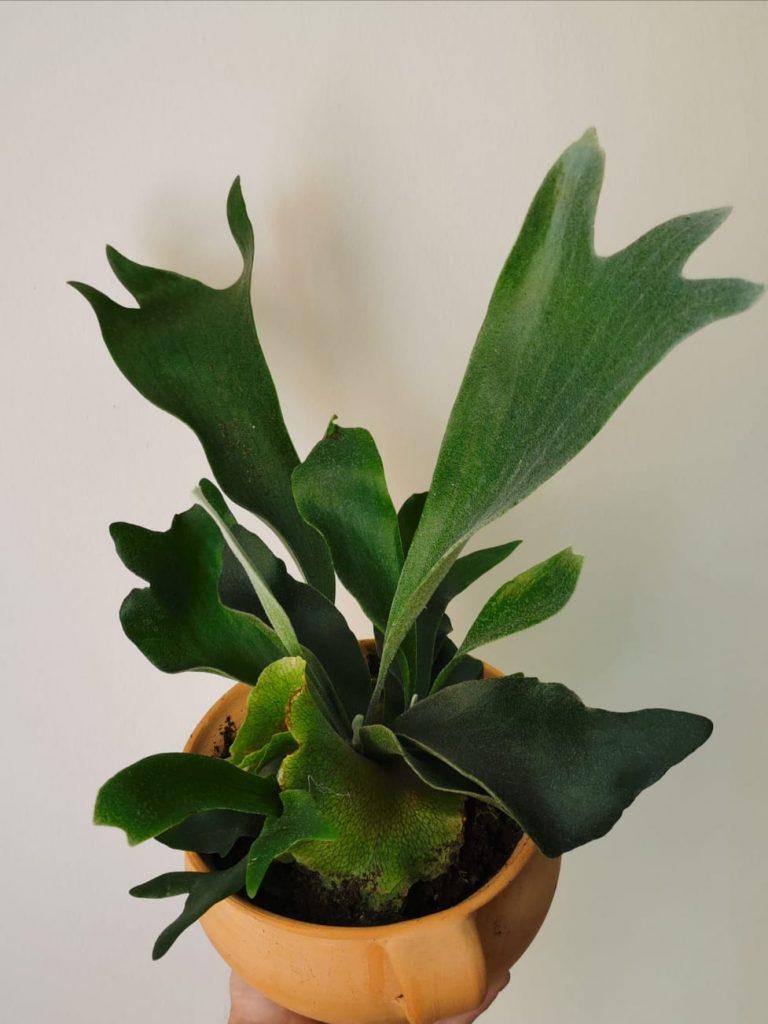 Platicerium Alcicorne