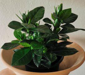 Gardenia Jasminoides CUADRADA