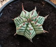 Euphorbia Melaniformis Variegata
