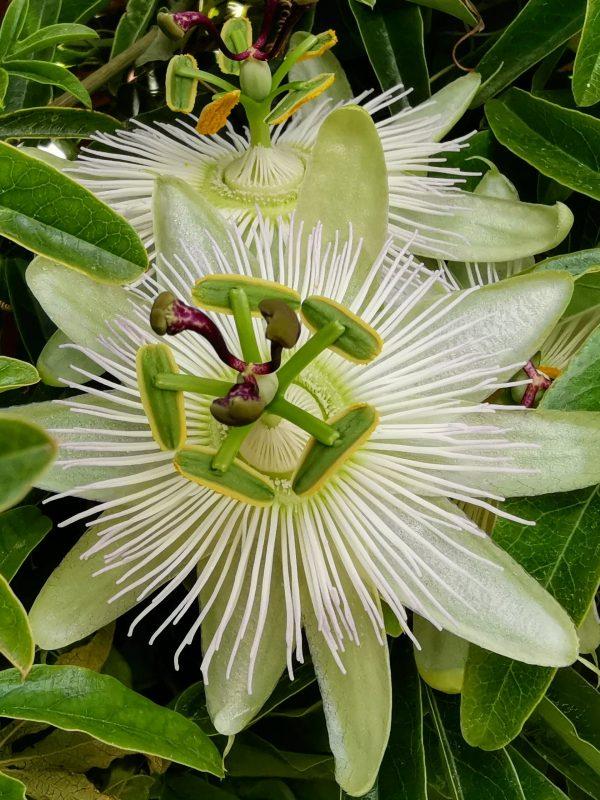 Ficha de albuca spiralis, jardines