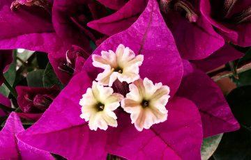 jardines - ficha aeonium suncup home