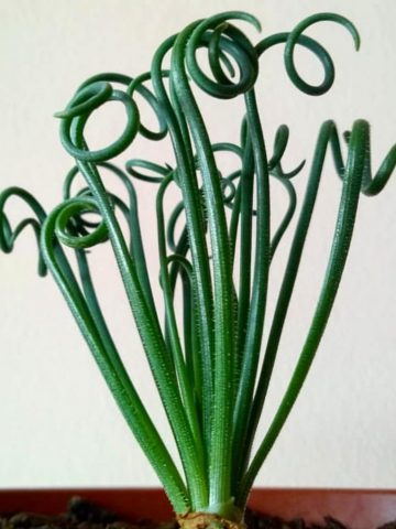 ficha de albuca spiralis - principal - jardines - ficha aeonium - jardin de cactus
