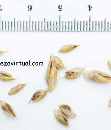 germinar dendrocalamus strictus